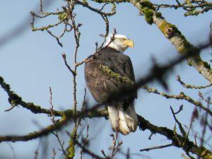 eagle_at_ankeny_wildlife_refuge_by_sarah_buys_8272126745