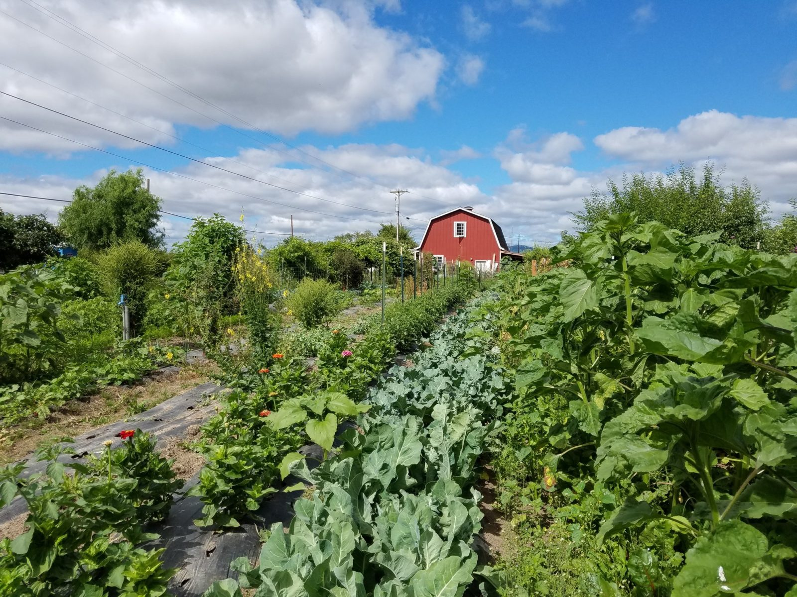 Photo showing a red barn and vegetable crops at Midway Farms in North Albany Oregon.