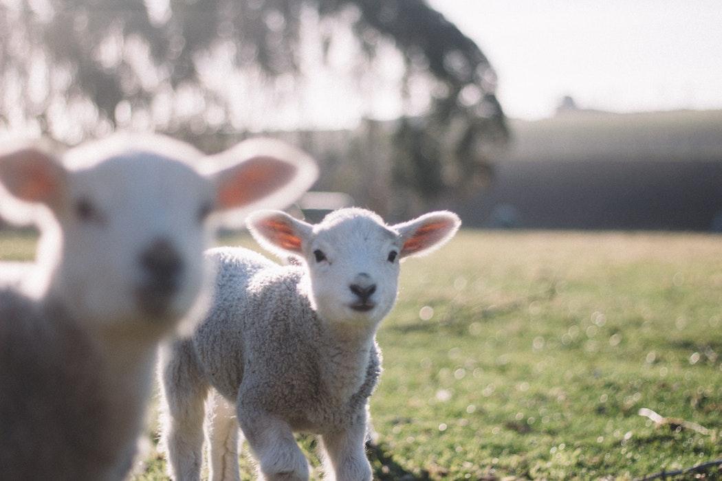 Photo of lambs.