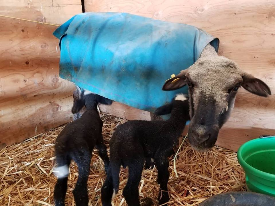 Photo of sheep with two lambs nursing.