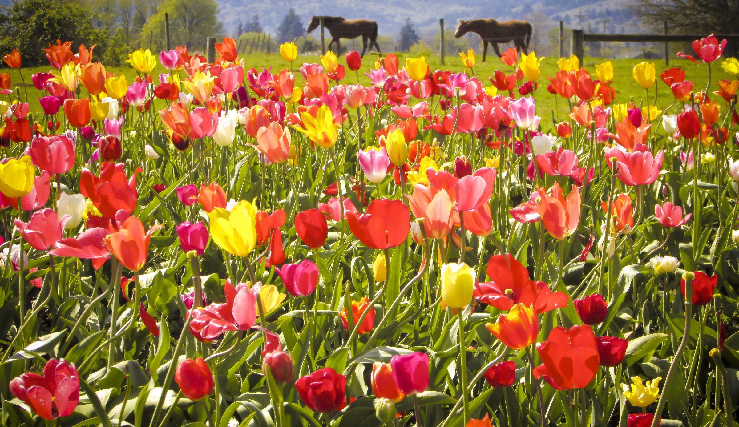 Photo of tulips blooming in a field and horses in the distance, by photographer Stephanie Lowe