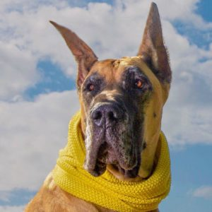 Photo of a blonde great dane wearing a yellow scarf and standing in front of a backdrop of blue sky and clouds, by Sniffany's Pet Boutique in Albany Oregon