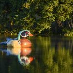 "Photo of the giant painted floating duck named ""Woody"" at Waverly Lake in Albany, Oregon"