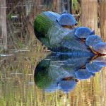 Photo of turtles climbing one on top of another on a log sticking out of the pond at Albany's Talking Water Gardens