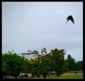 Photo of a swallow flying upside down at the historic State of Oregon Heritage Site, Thompson's Mills.