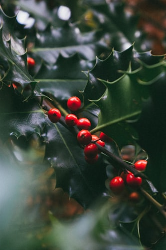 Photo of holly branch and red berries.
