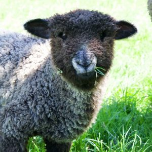 Sheep Dayz of Summer Fiber Event and Classes @ Iron Water Ranch | Albany | Oregon | United States