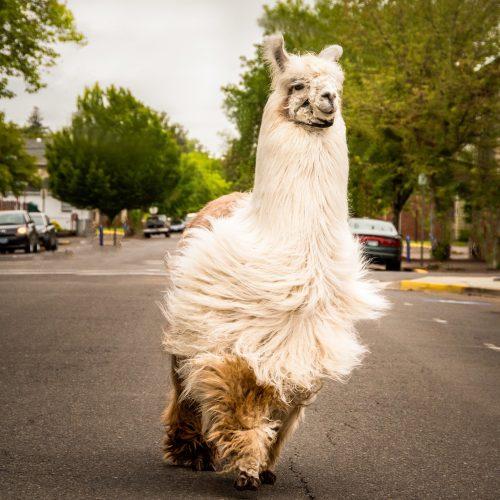 Photo of The No Drama Llama, Albany, OR.