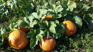 Grandpa's Pumpkin Patch & Fresh Market @ Grandpa's Fresh Market | Albany | Oregon | United States