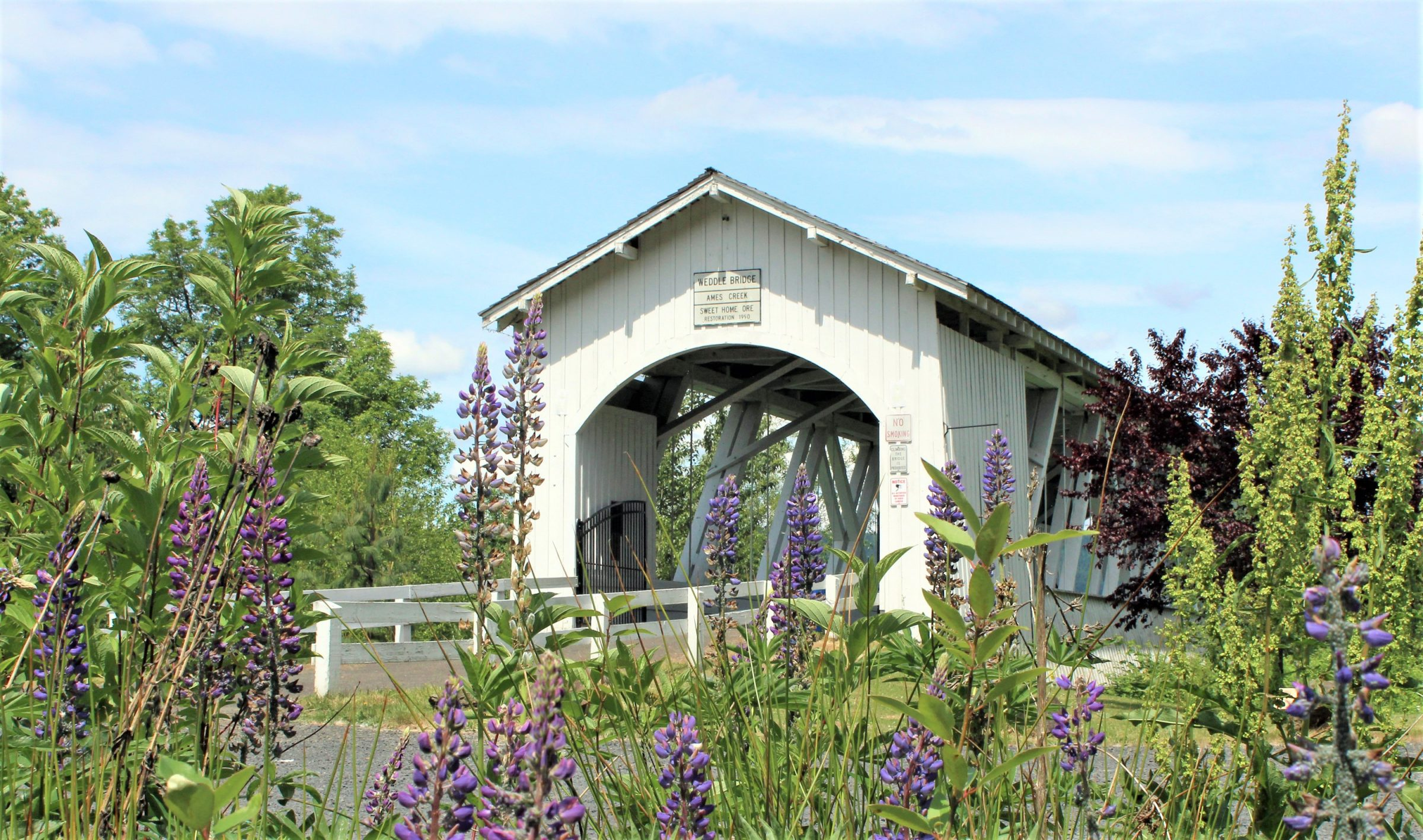 photo of white covered bridge with purple flowers on sunny day near Albany, Oregon