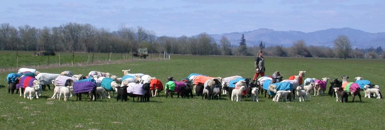 photo sheep with coats at Iron Water Ranch, Albany, Oregon