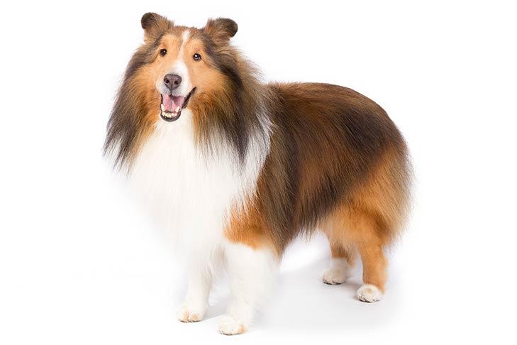 photo of sheep dog